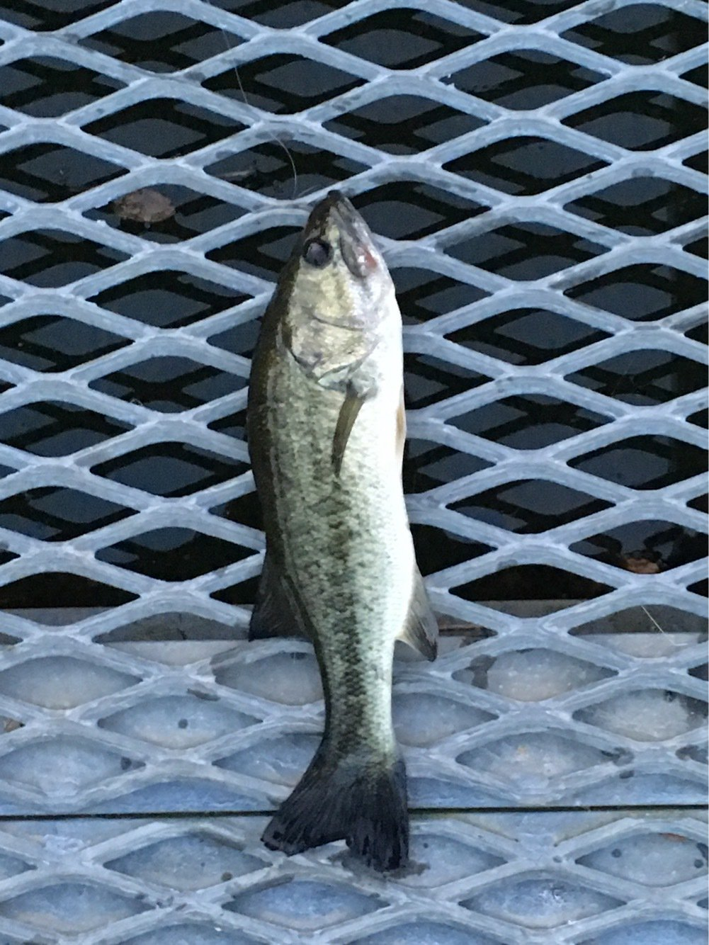 はしもとさんの投稿画像,写っている魚はブラックバス