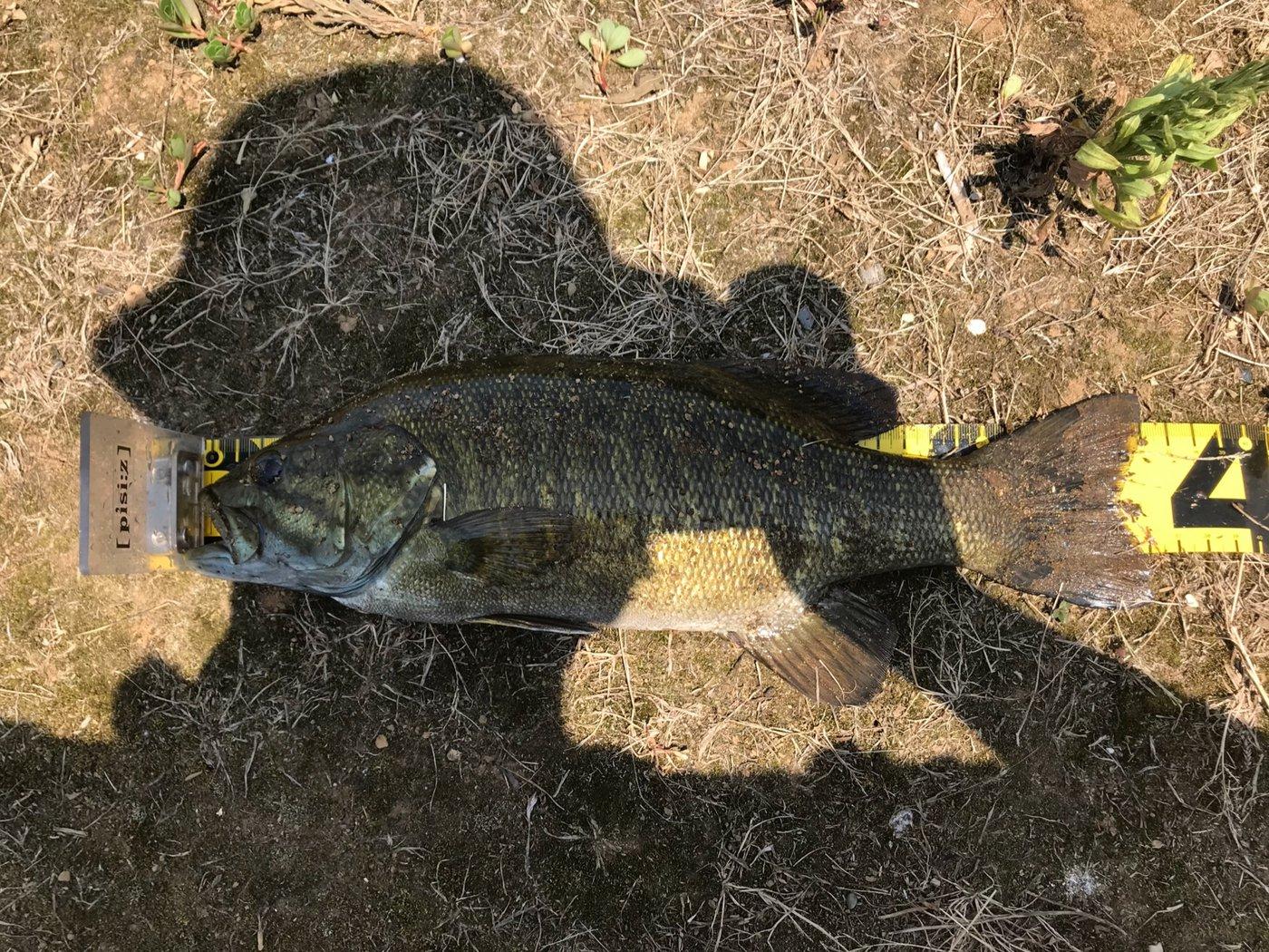 バスボンさんの投稿画像,写っている魚はスモールマウスバス