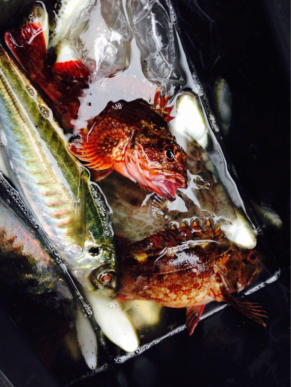 totoshyさんの投稿画像,写っている魚はショウサイフグ