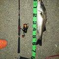 釣りきちさんの石川県小松市でのスズキの釣果写真