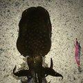 はぶてるさんの山口県防府市でのアオリイカの釣果写真