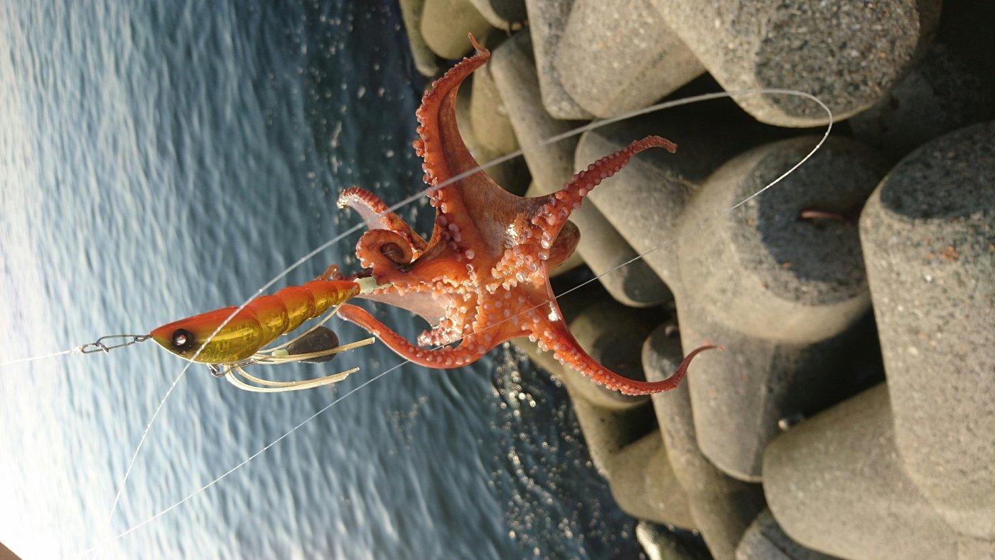 ススムさんの投稿画像,写っている魚はマダコ