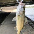 ななやんさんの福岡県遠賀郡でのスズキの釣果写真