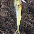 チョコさんの鹿児島県でのシイラの釣果写真