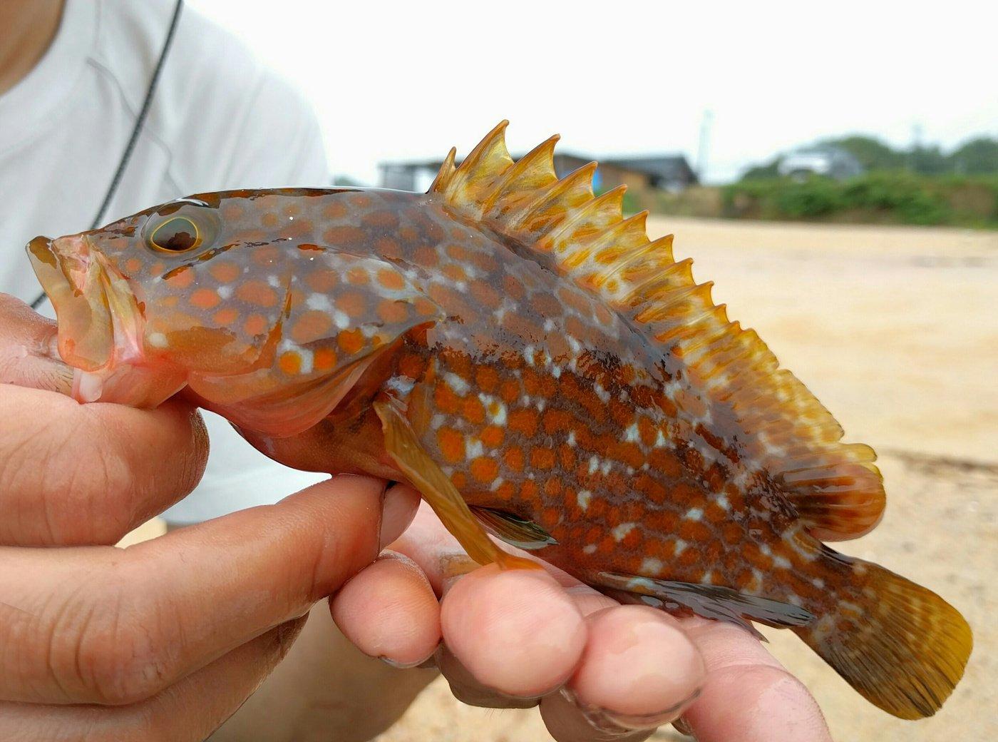 あだちさきさんの投稿画像,写っている魚はキジハタ