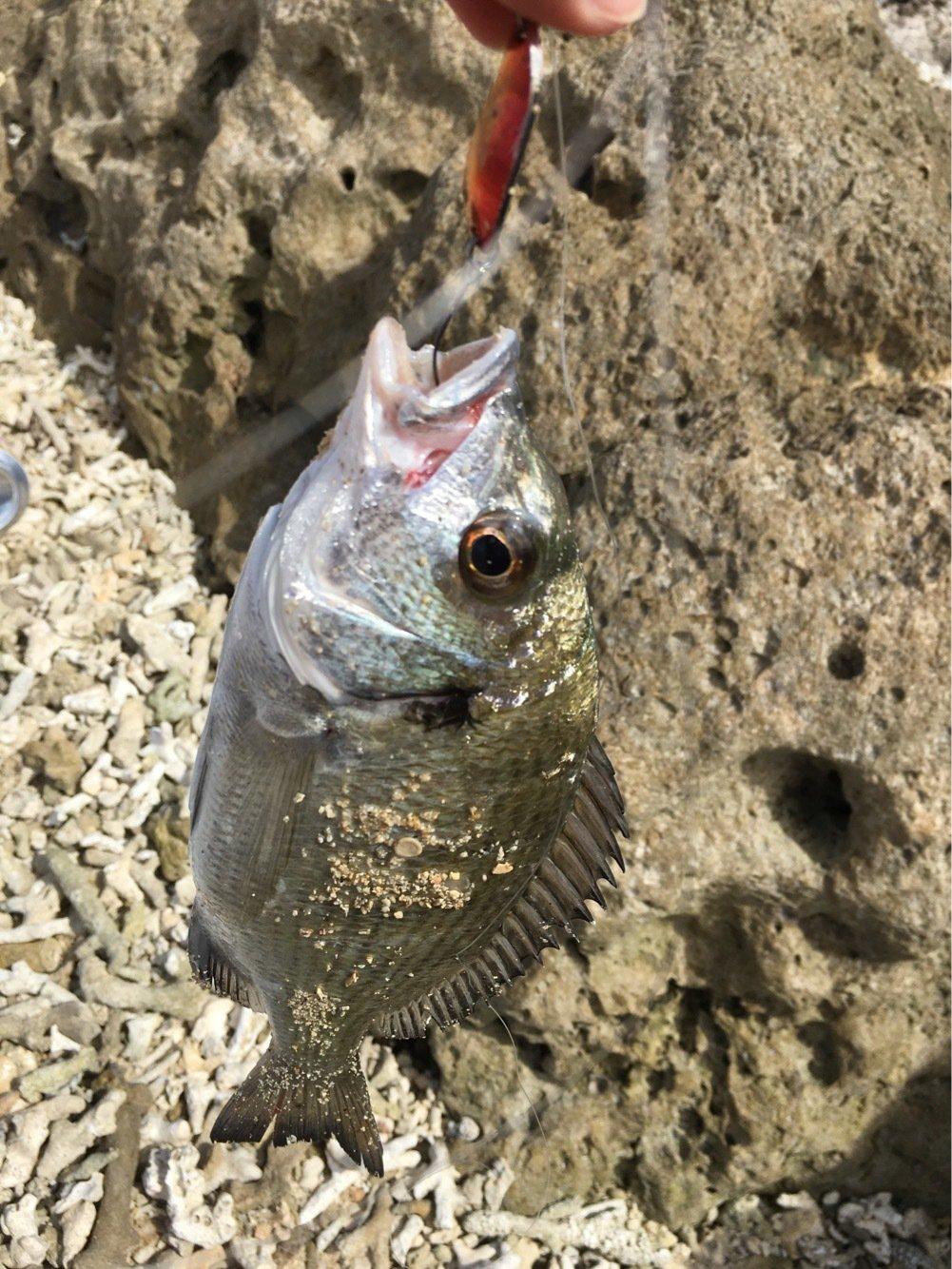 (^^)さんの投稿画像,写っている魚はクロダイ