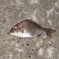 DSKAMさんの佐賀県伊万里市での釣果写真