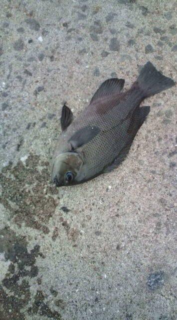 にたやさんの投稿画像,写っている魚はクロメジナ