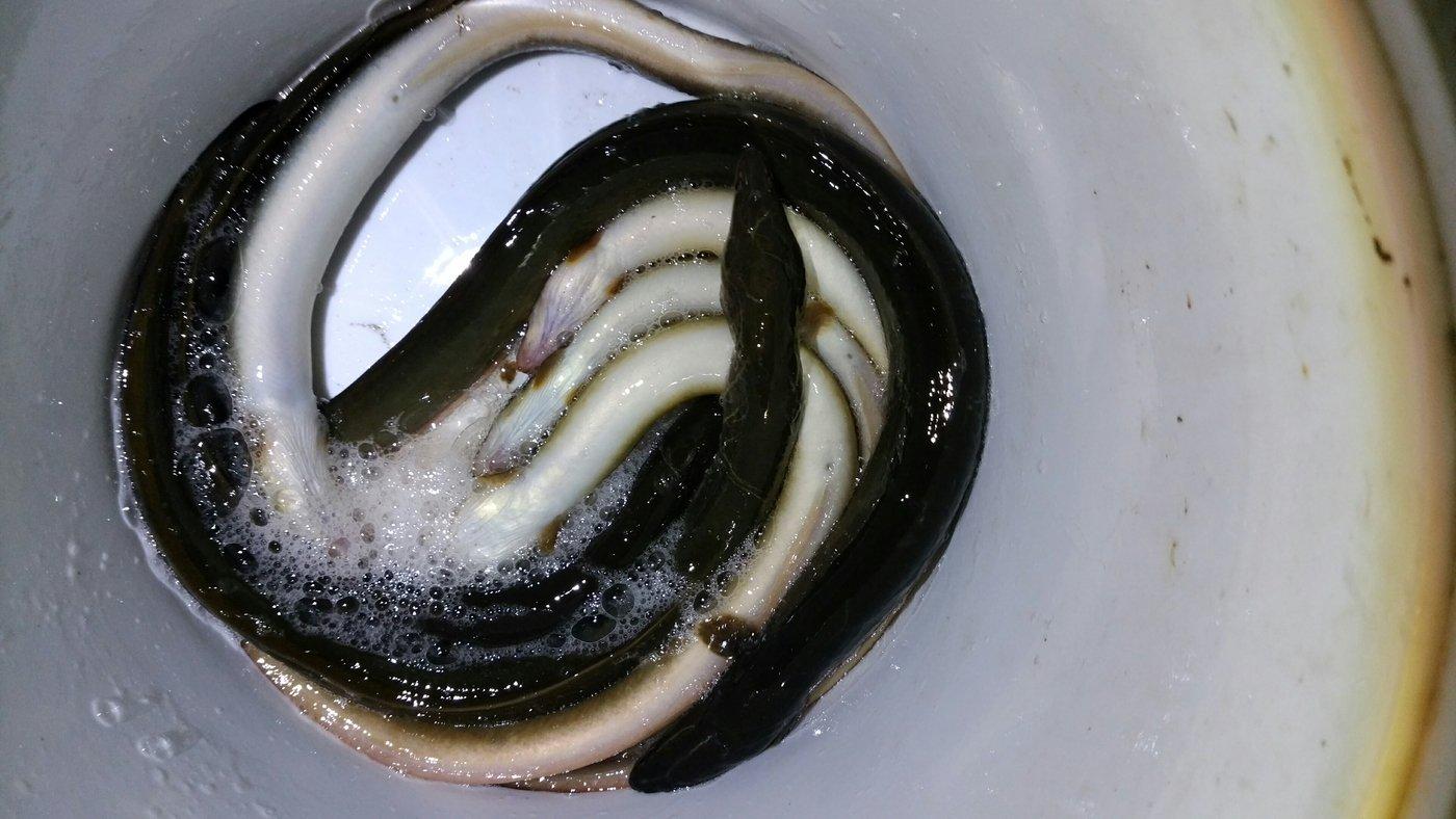 まさひろさんの投稿画像,写っている魚はウナギ