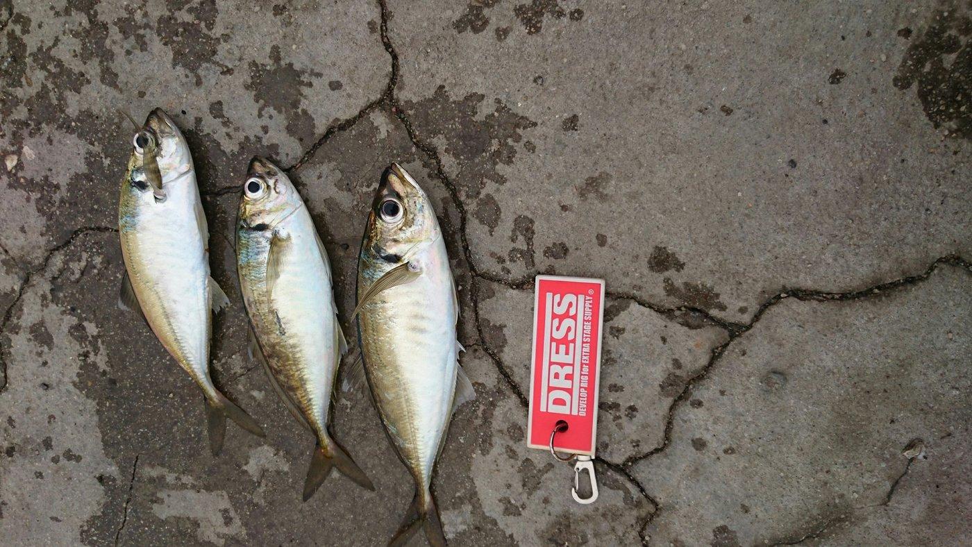 かずとみさんの投稿画像,写っている魚はアジ