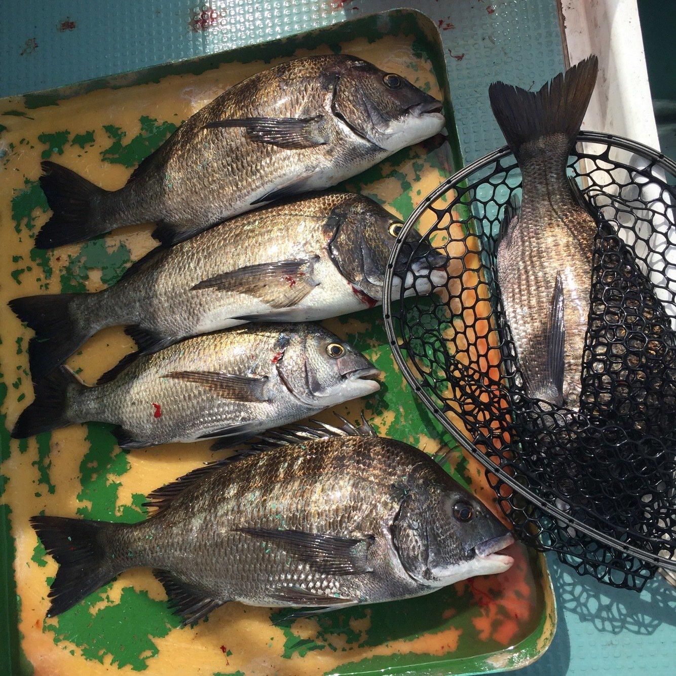 テンラバさんの投稿画像,写っている魚はクロダイ