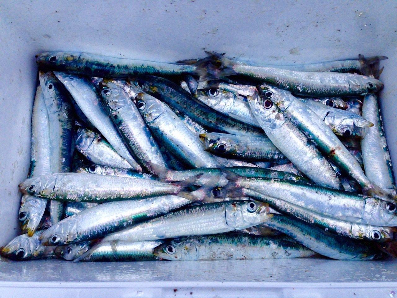 yJ012さんの投稿画像,写っている魚はマイワシ