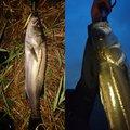 マンボウさんの千葉県流山市での釣果写真