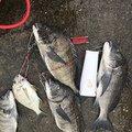 カズキングさんの大分県佐伯市でのクロダイの釣果写真