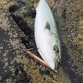 hikkaさんの北海道沙流郡での釣果写真
