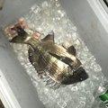 よっさんさんの静岡県沼津市でのクロダイの釣果写真