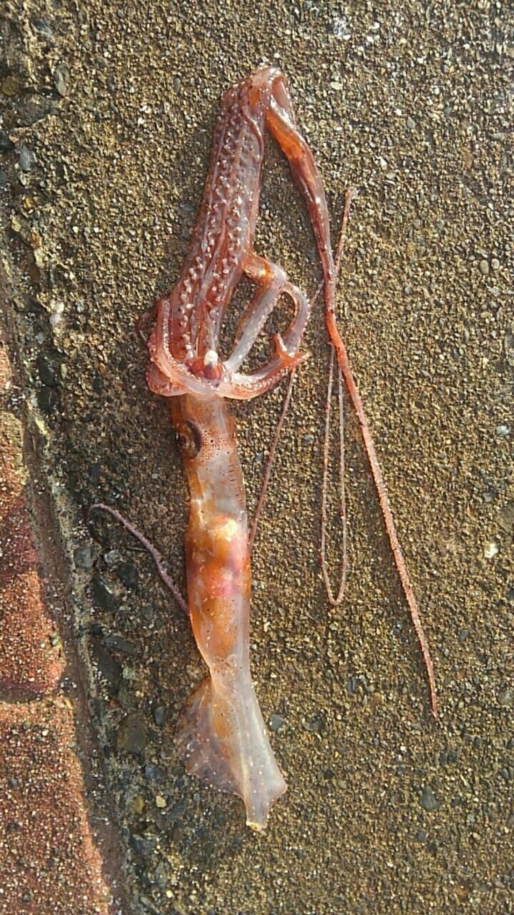 てつやさんの投稿画像,写っている魚はユウレイイカ