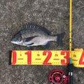 釣松さんの兵庫県豊岡市での釣果写真