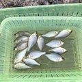 ゆうくんさんの新潟県加茂市での釣果写真