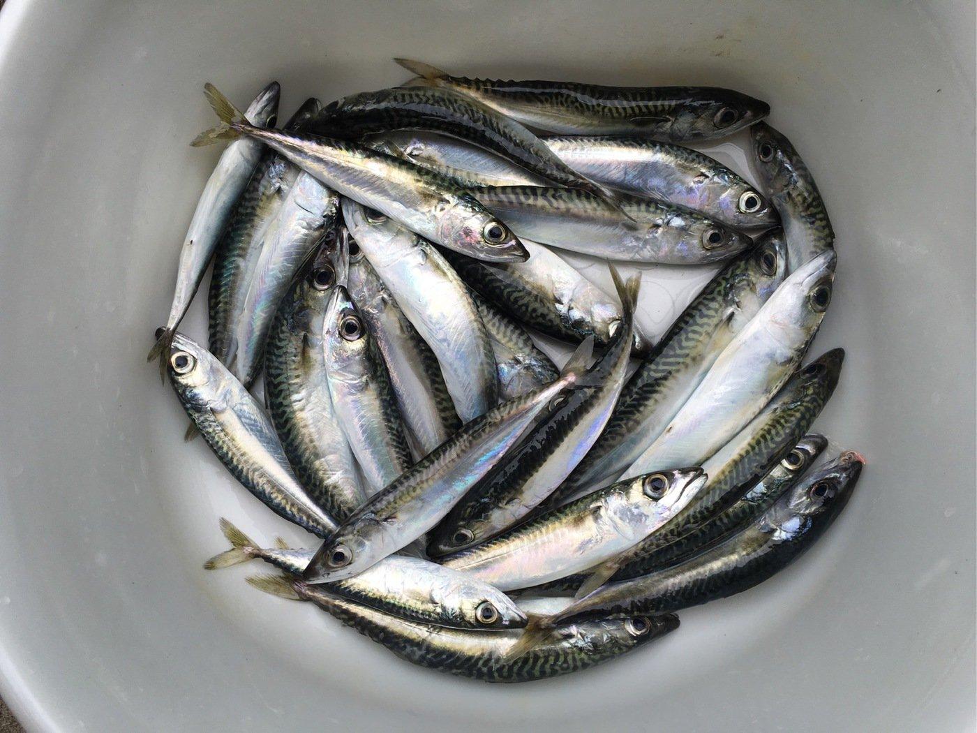 ふくさんの投稿画像,写っている魚はゴマサバ