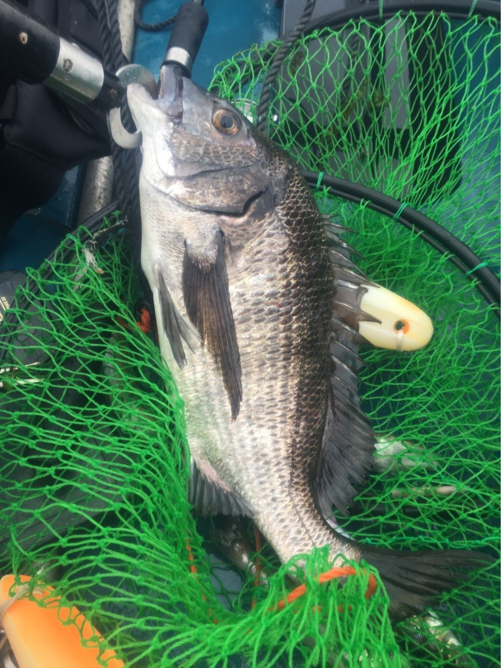 tho.incさんの投稿画像,写っている魚はクロダイ
