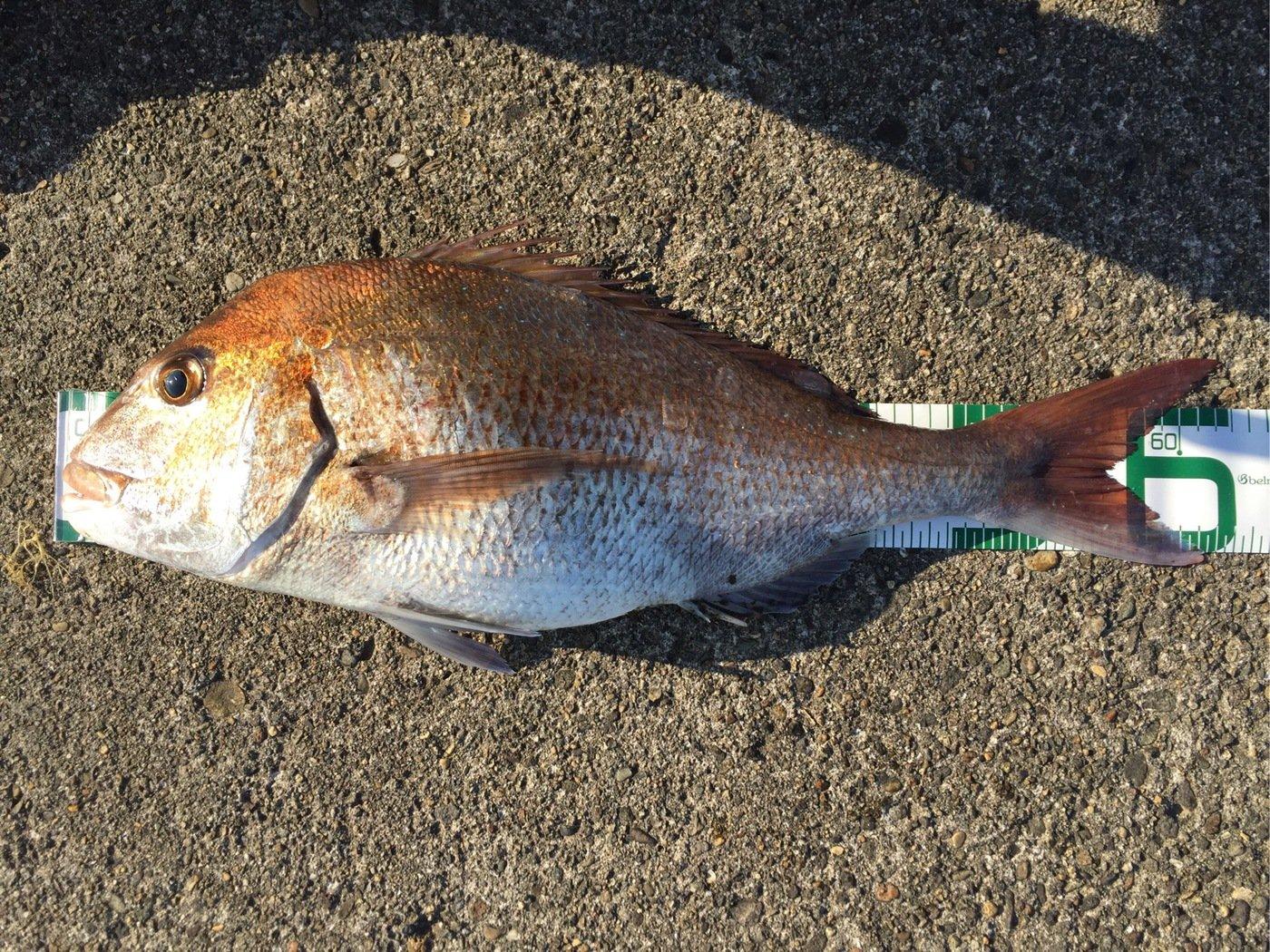 nobuさんの投稿画像,写っている魚はマダイ