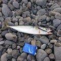 なつん      さんの静岡県焼津市でのマサバの釣果写真