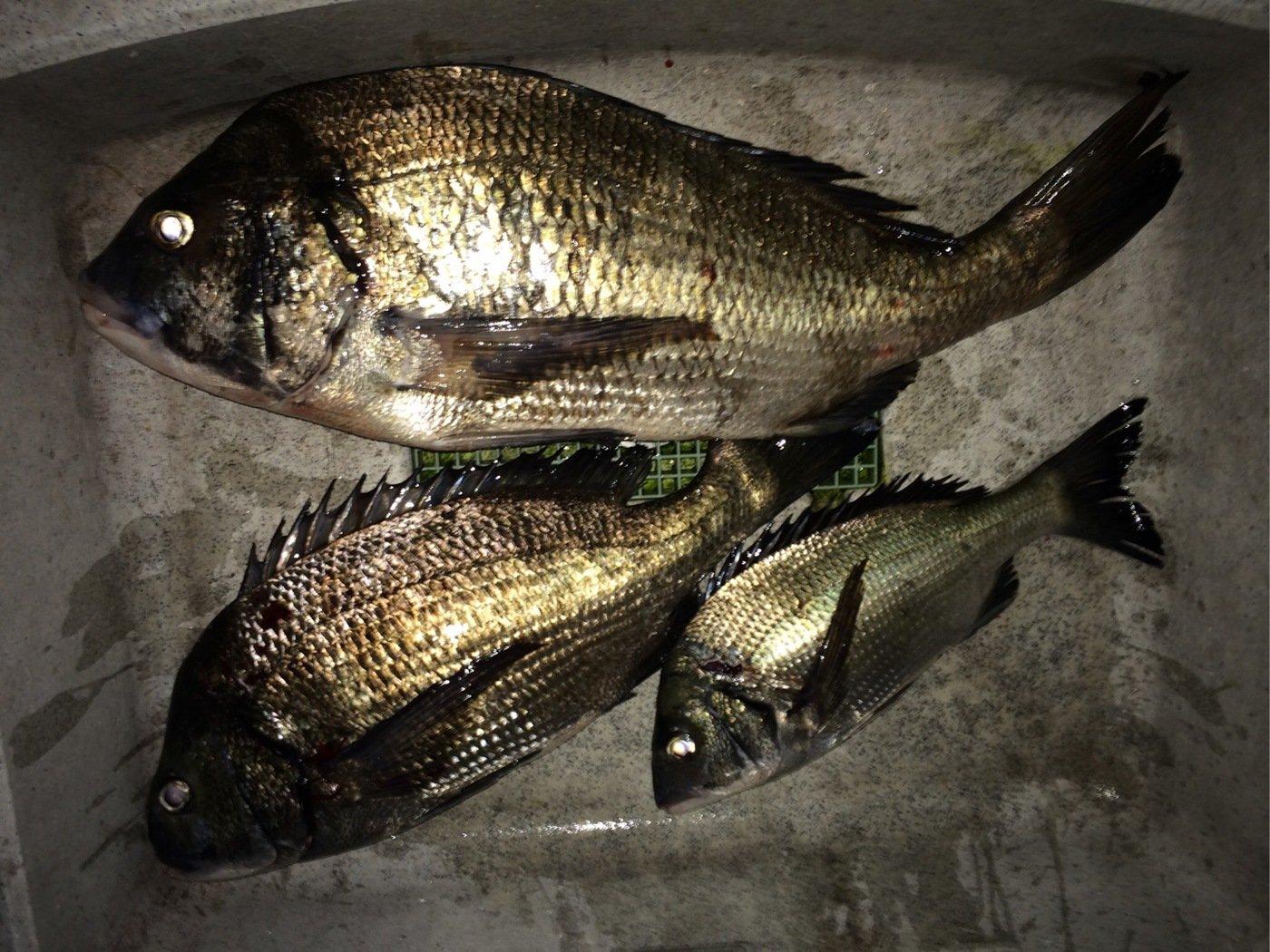 コキチさんの投稿画像,写っている魚はクロダイ