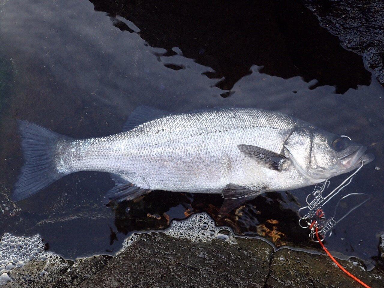 やまちゃんさんの投稿画像,写っている魚はヒラスズキ