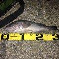 らぶこさんの北海道上磯郡での釣果写真