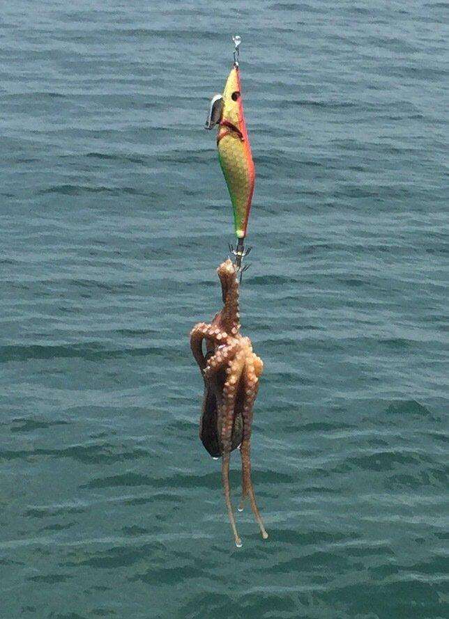エメラルダス92さんの投稿画像,写っている魚はマダコ