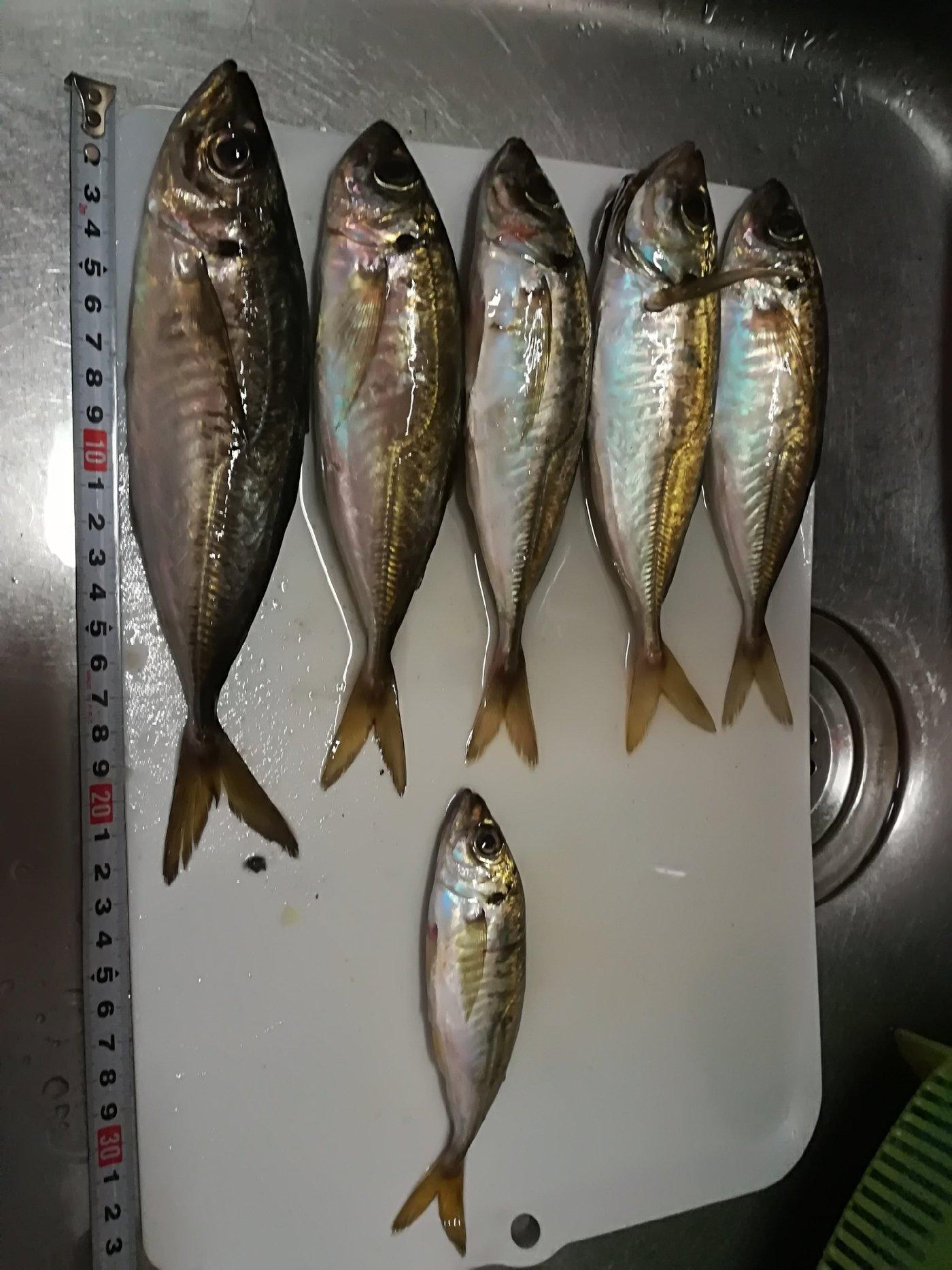 shutaroさんの投稿画像,写っている魚はアジ