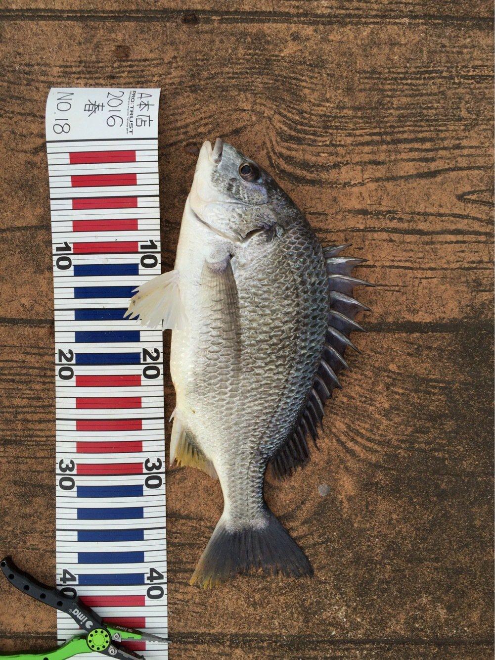 齊藤勝一さんの投稿画像,写っている魚はキチヌ