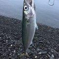 ざんぎ※釣具は大事に‼︎さんの静岡県焼津市でのマサバの釣果写真