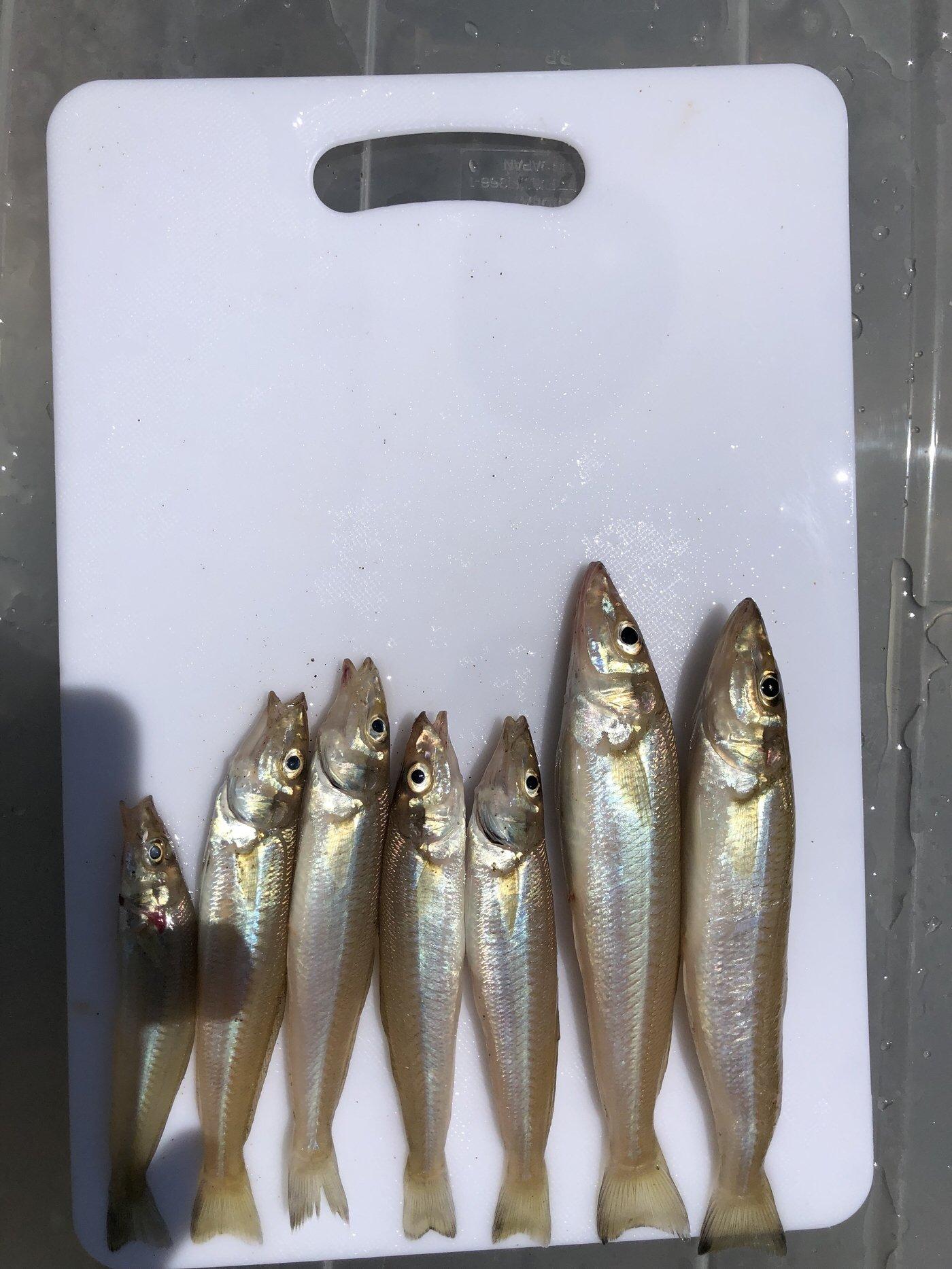 ゲストさんの投稿画像,写っている魚はシロギス