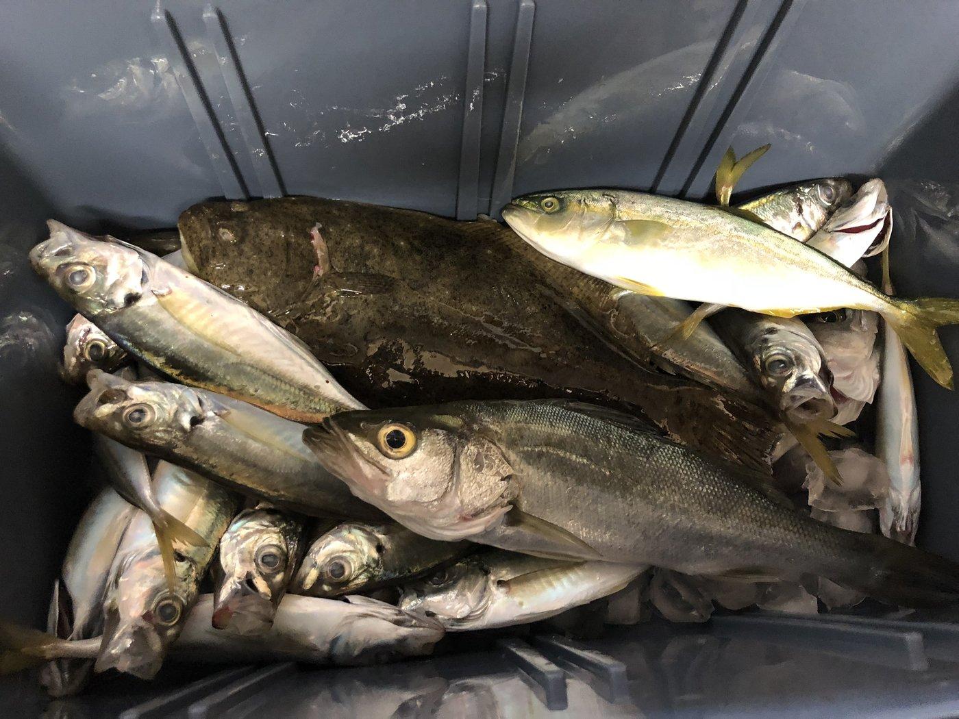 たかさんの投稿画像,写っている魚はアジ,スズキ,ブリ,ヒラメ