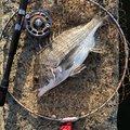 ひでさんの福岡県福岡市でのクロダイの釣果写真