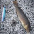Enoさんの北海道苫小牧市でのアイナメの釣果写真