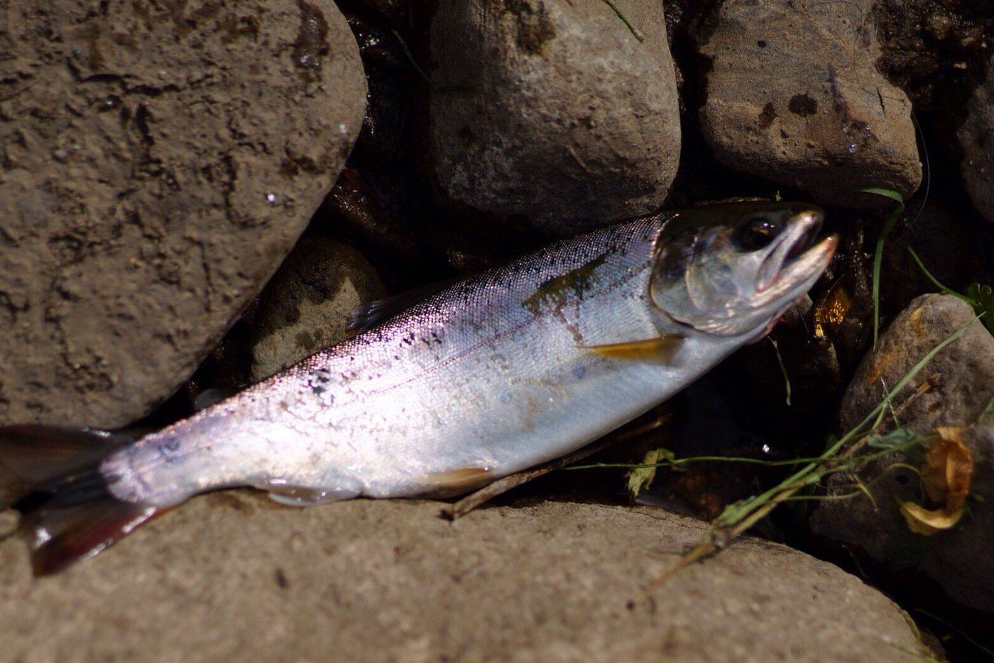 isanさんの投稿画像,写っている魚はサクラマス