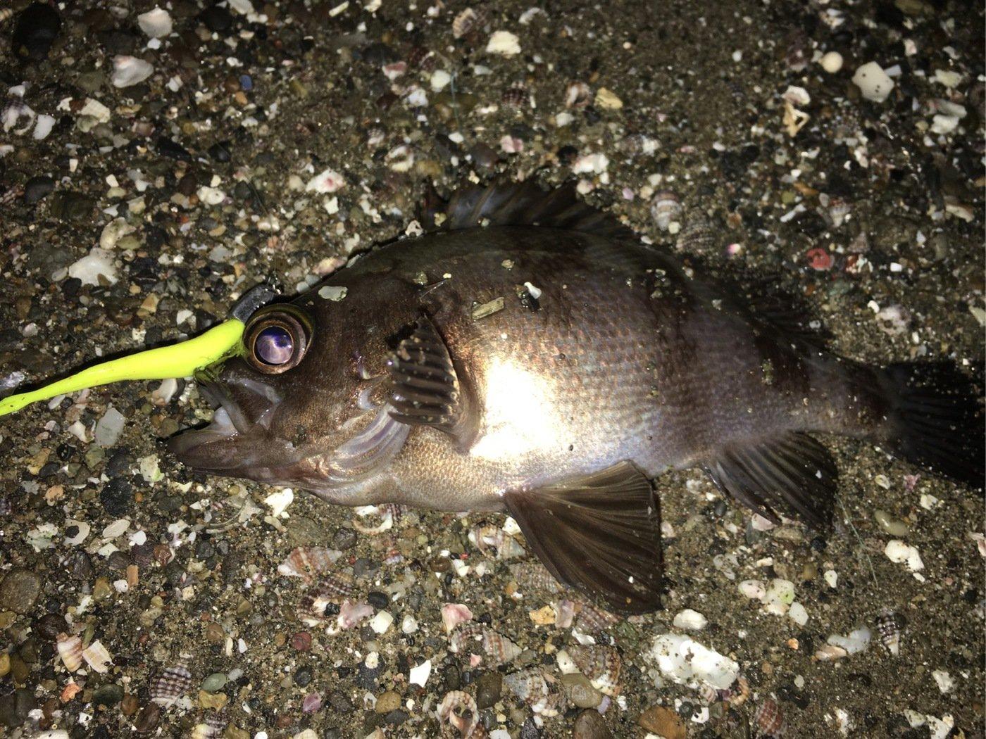 Shinさんの投稿画像,写っている魚はクロメバル