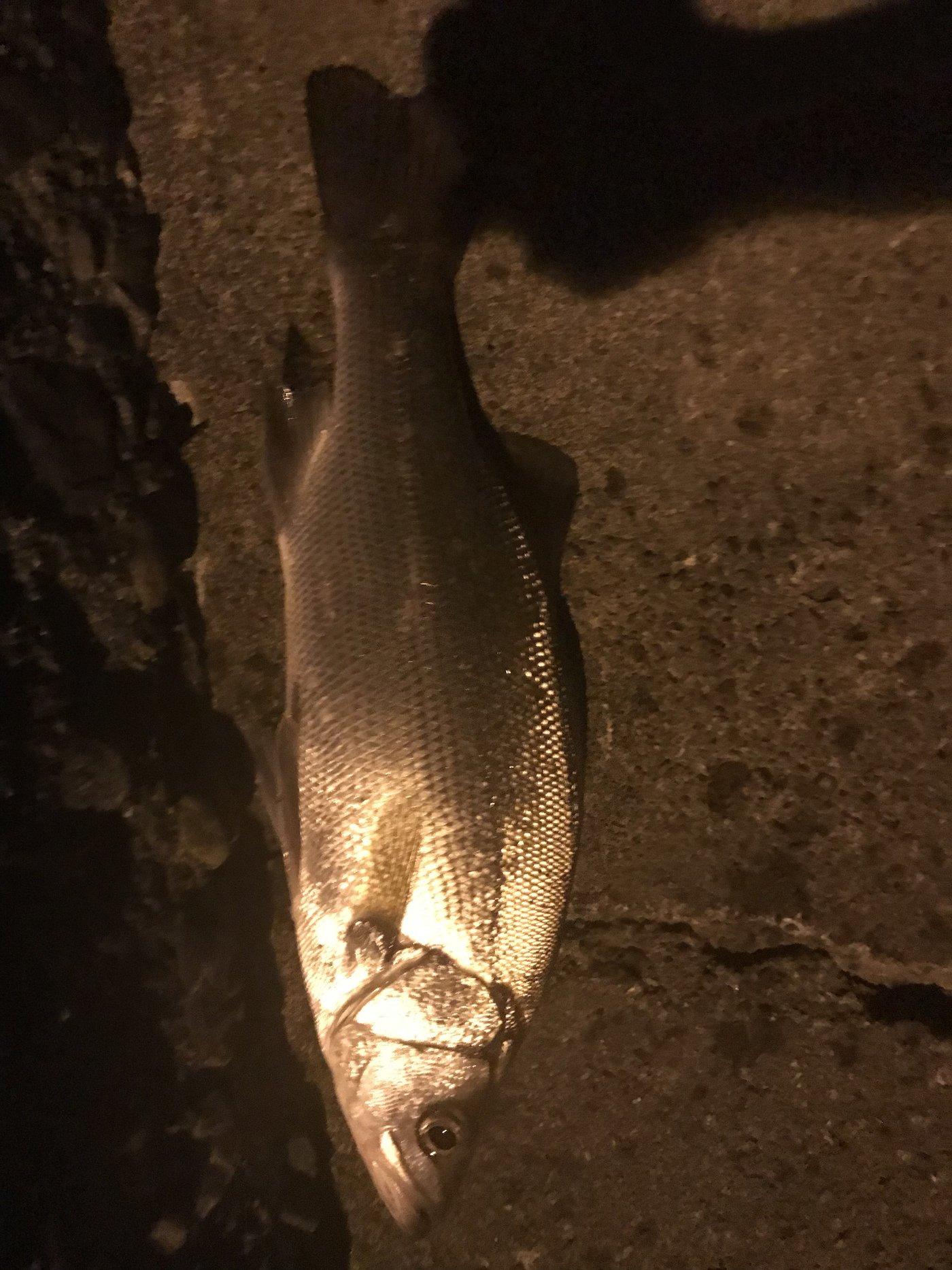 釣り人マナー向上 うーすさんの投稿画像,写っている魚はスズキ