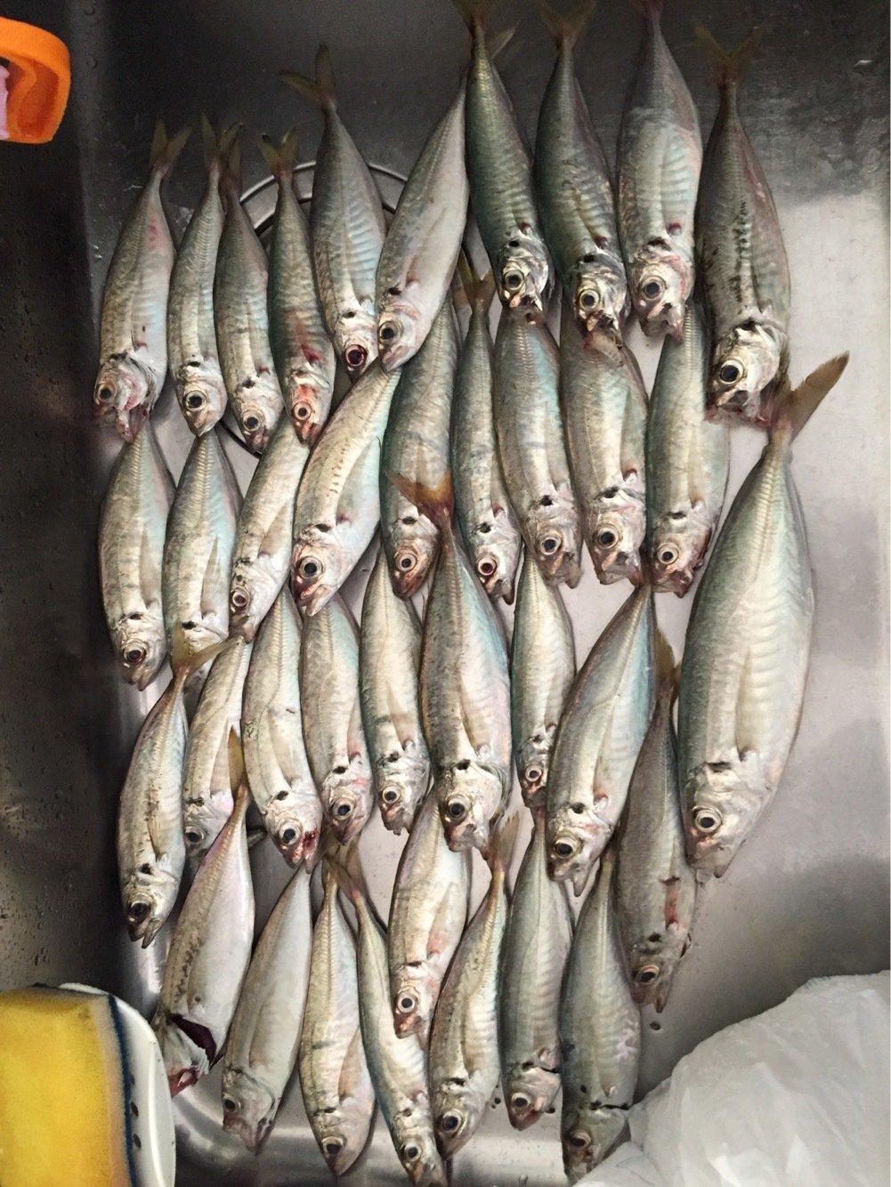 Kotaさんの投稿画像,写っている魚はアジ