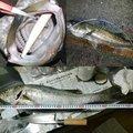 たつやさんの徳島県小松島市でのスズキの釣果写真