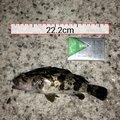 アブさんの兵庫県高砂市でのメバルの釣果写真