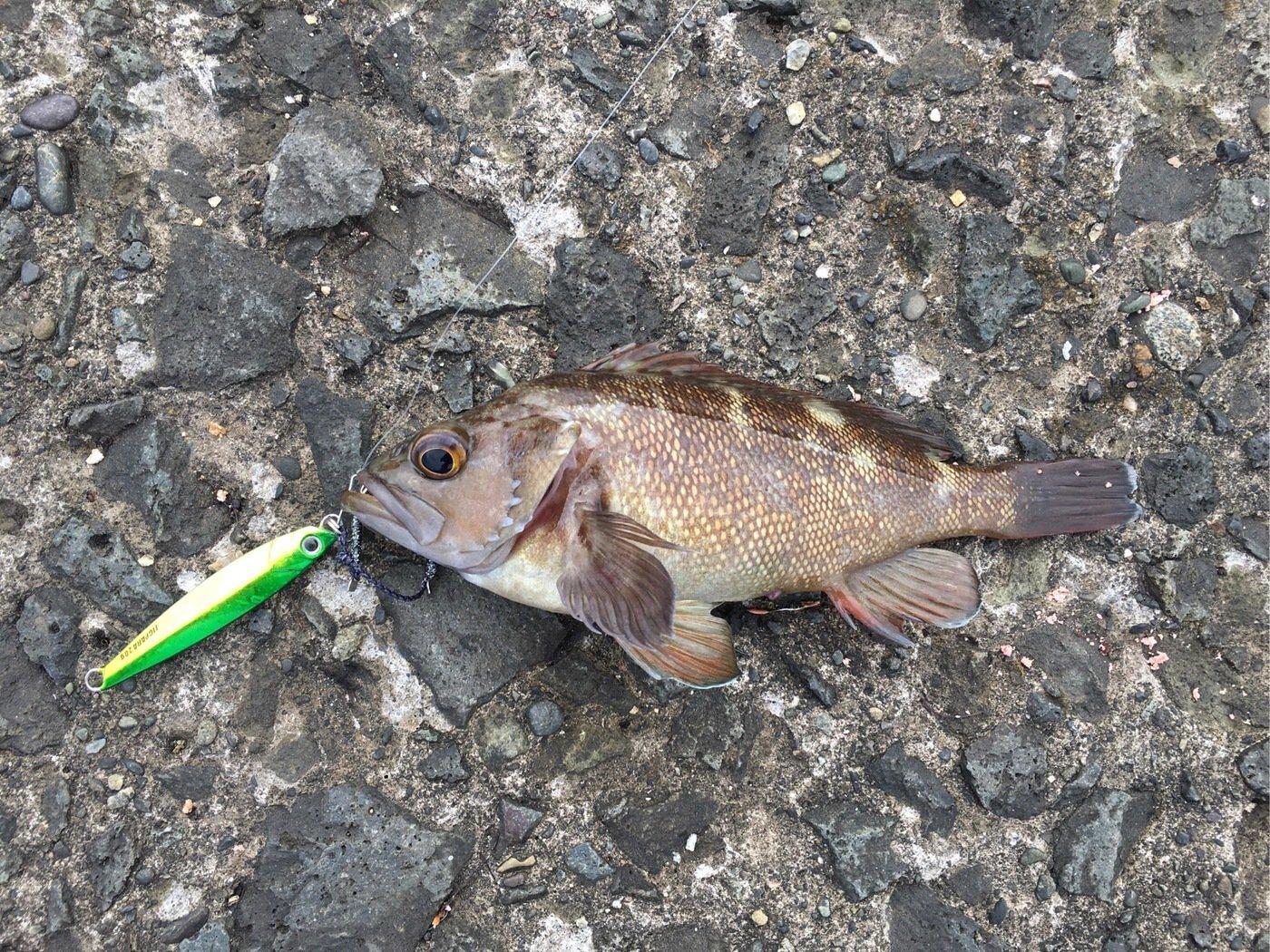 コダソンさんの投稿画像,写っている魚はエゾメバル
