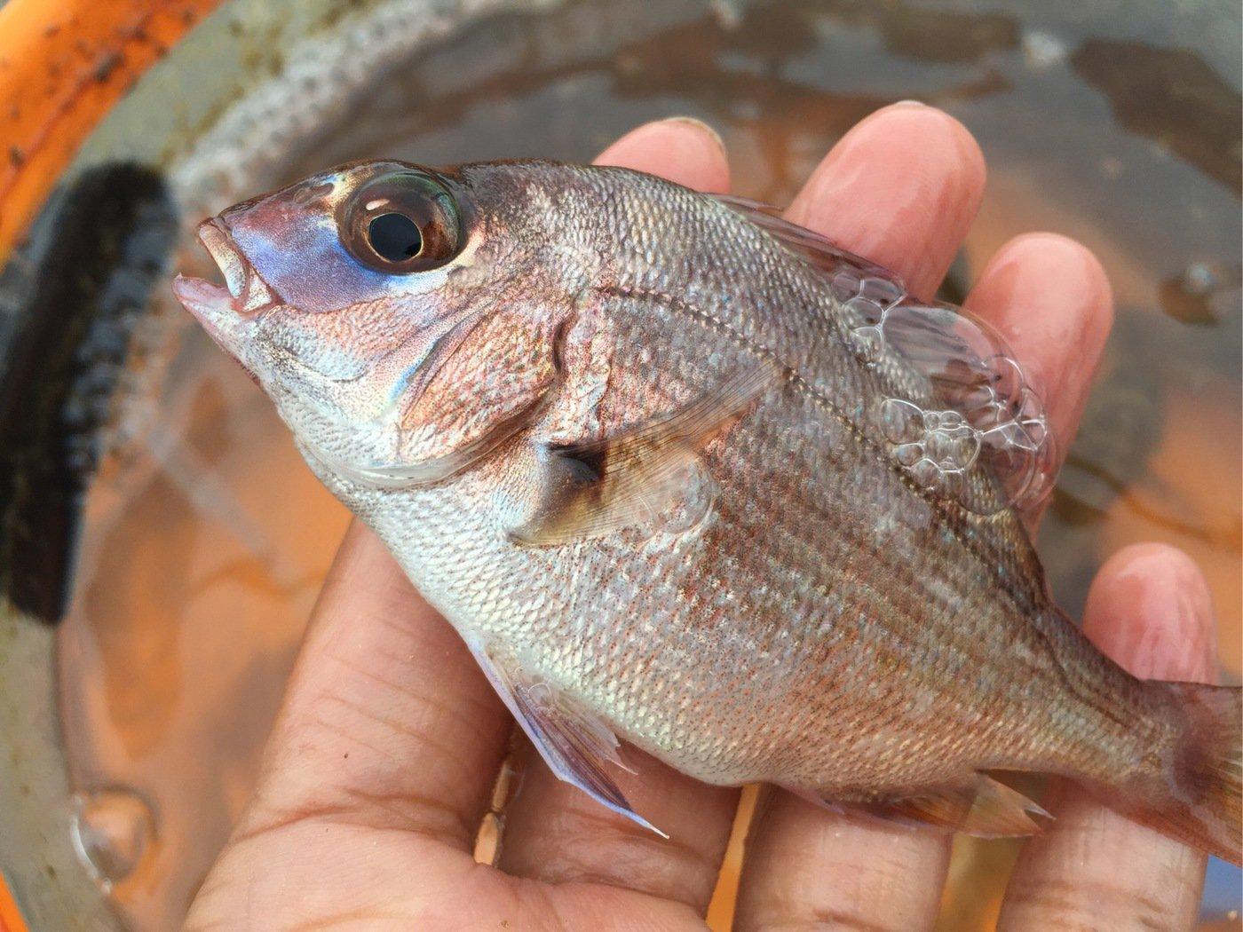 釣り女子さんの投稿画像,写っている魚はウミタナゴ