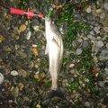 oitanさんの石川県小松市でのスズキの釣果写真