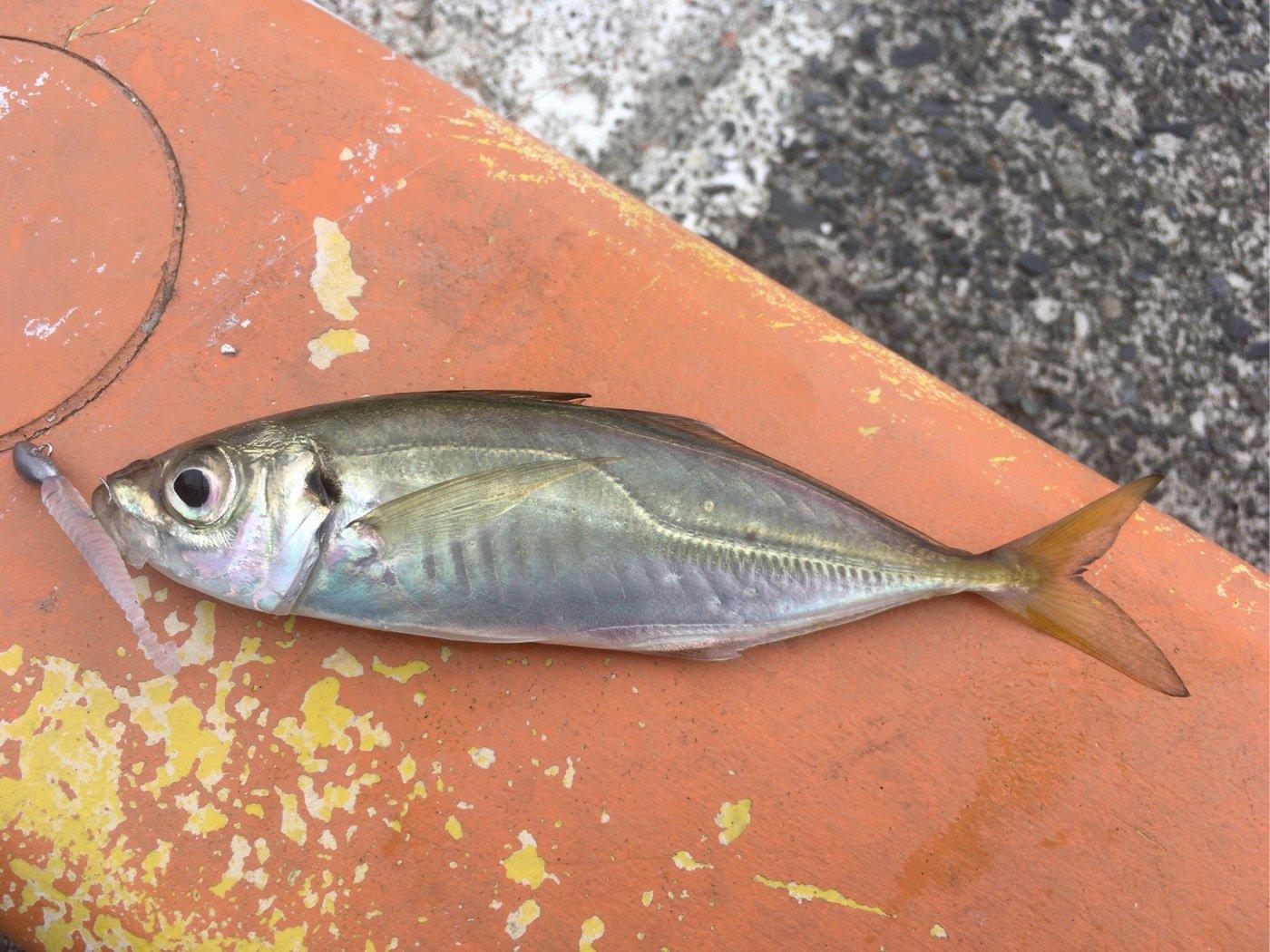 釣りでもしようさんの投稿画像,写っている魚はアジ