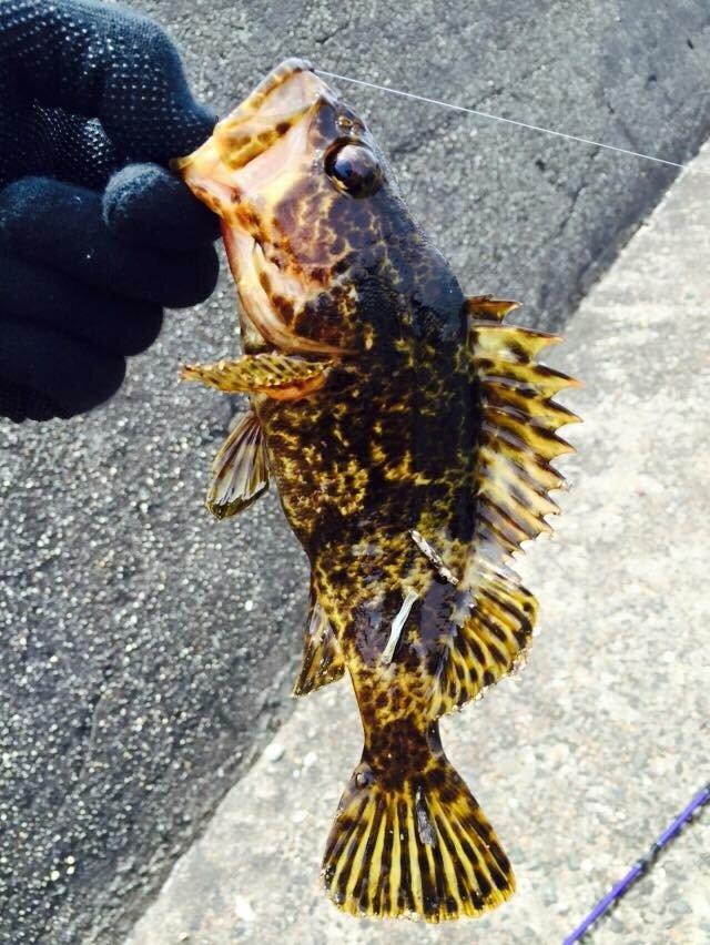 かさごくんさんの投稿画像,写っている魚はタケノコメバル