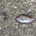 釣りの天才さんの兵庫県でのスズメダイの釣果写真